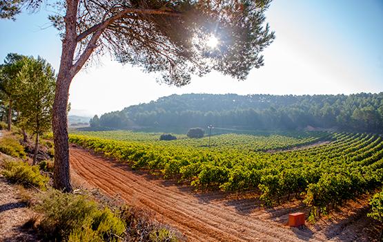 Nuestro viñedo | Bobal Wine Cellars